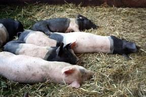 aktuelles-aktuelles_2012-schweine_288.jpg