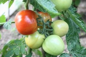 aktuelles-aktuelles_2016-tomaten1_288.jpg
