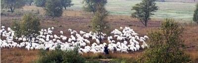 Schäferei retten: Kulturlandschaft braucht Schafe