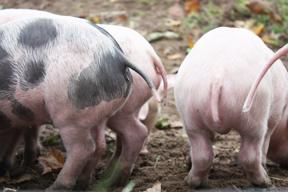 aktuelles-aktuelles_2018-schweine_288.jpg