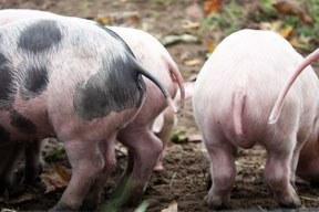 Tierzucht: Antibiotikaresistenzen – eine gesellschaftliche Herausforderung