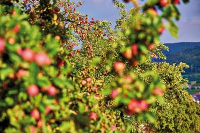 Apfelernte –  Tradition, Werte und Wirtschaftlichkeit