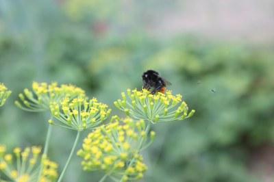 Garten-Tipp: Kräuter für Menschen und Bienen