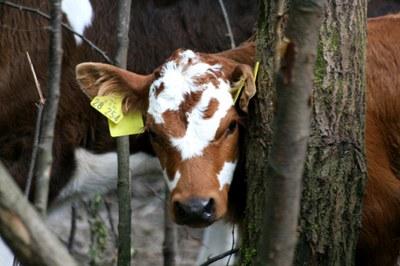 Getigertes Rind aus Franken wird neuer Arche-Passagier