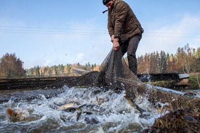 Teichwirtschaft: Das große Abfischen