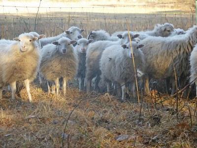 Alte Schafrasse: Slow Food nimmt die Skudde in die 'Arche des Geschmacks' auf