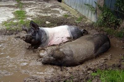 Meilenstein für faire Tierhaltung: EU-Kommission verkündet historisches Bekenntnis zum Verbot von Käfigen für Nutztiere