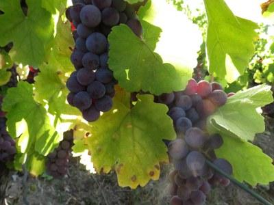Weißwein aus blauen Trauben: Blauer Silvaner ist neuer Arche-Passagier