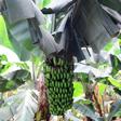 aktuelles-aktuelles_2017-bananen_katharina_heuberger_112.jpg