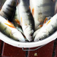aktuelles-aktuelles_2018-fish_dependence_day_fische_ostsee_usedom_112x112.jpg
