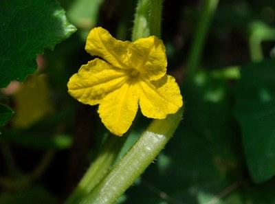 Bautzener Kastengurke_Pflanze mit Blüte (c) Dr. Matthias Berger.jpg