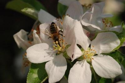Apfelblüte Biene (c) Dr.Eckart Meyer.jpg