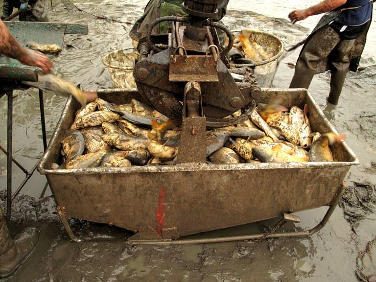 Kleine Schlammschlacht: Der Greifarm hievt die Fische ins Transportbecken.