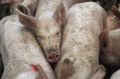 schweine (c) pixabay.jpg