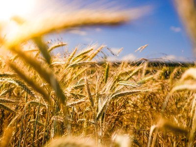 Wheat (c) unsplash.jpg