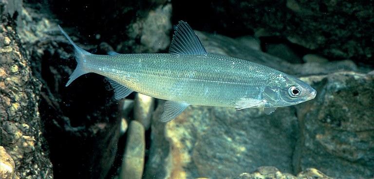 Blaufelchen eins (c) Fischereigenossenschaft der Bayerischen Bodenseeberufsfischer.jpg
