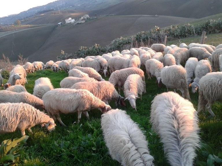 Schafe © Slow Food Archiv.jpg