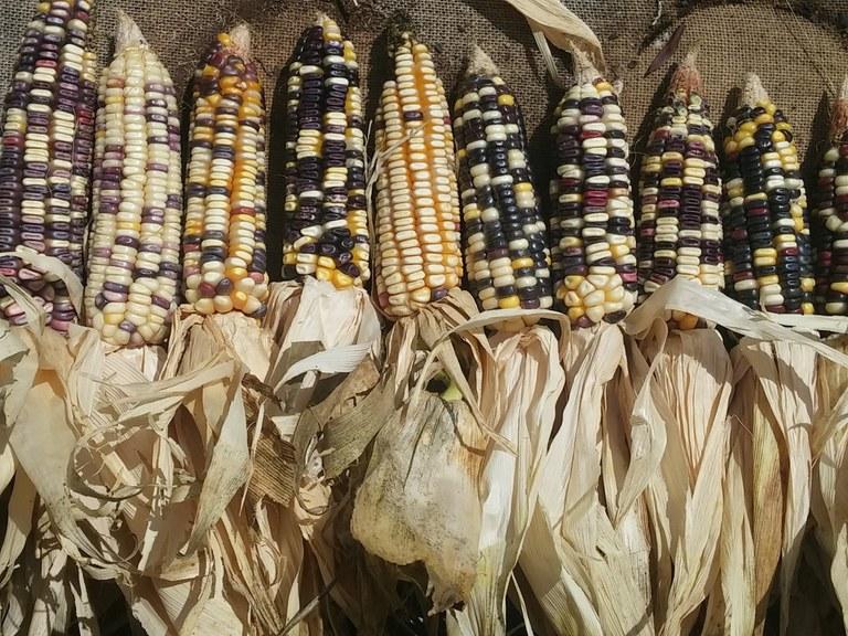Südafrika Maisvielfalt © Malcom Drummond.jpg