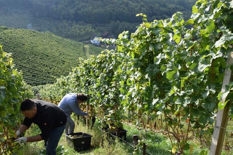 In den Weinbergen bei Durbach durften sich dieses Jahr Weinjournalisten aus ganz Deutschland über den Riesling hermachen (c) Ernst Büscher, Deutsches Weininstitut.jpg
