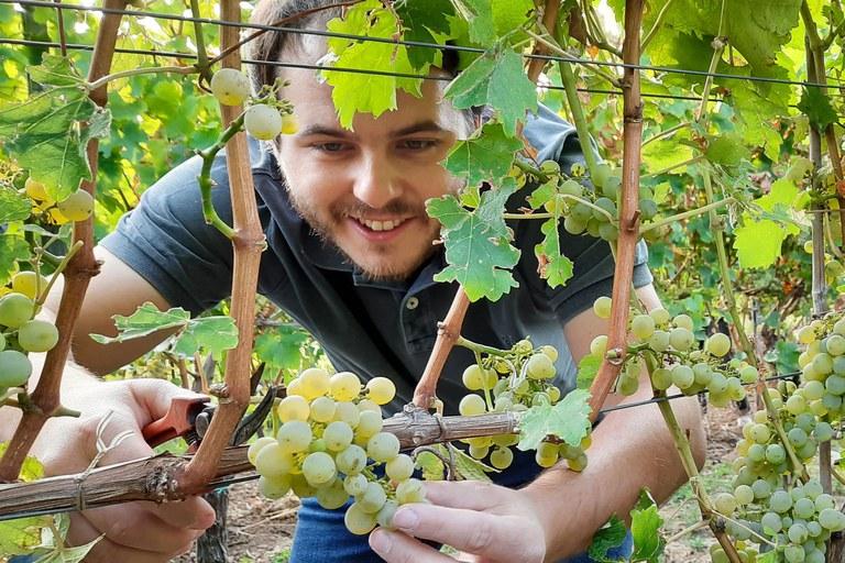 Marius Meyer vom Pfälzer Weingut Klaus Meyer bei der Lese von Sauvignon Blanc-Trauben in der Septemberhitze (c) Ernst Büscher, Deutsches Weininstitut.jpg