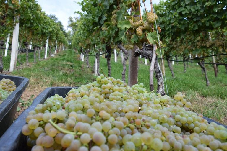 Riesling wird traditionell spät gelesen. In diesem Jahr im Badischen bei Durchbach aber schon Mitte und Ende September (c) Ernst Büscher, Deutsches Weininstitut.jpg
