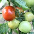 aktuelles-aktuelles_2016-tomaten1_112.jpg